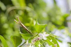 Pregare Mantis-01 Fotografia Stock