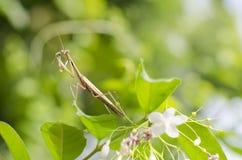 Pregare Mantis-02 Fotografia Stock
