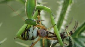 Pregare religiosa del mantide che mangia un bruennichi del Argiope del ragno della vespa archivi video