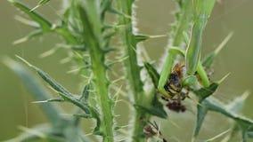 Pregare religiosa del mantide che mangia un bruennichi del Argiope del ragno della vespa stock footage