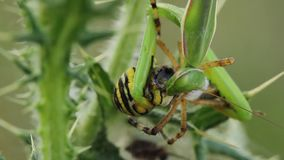 Pregare religiosa del mantide che mangia un bruennichi del Argiope del ragno della vespa video d archivio