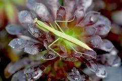 Pregare sinensis di aridifolia di Tenodera del mantide sull'aeonium Fotografie Stock