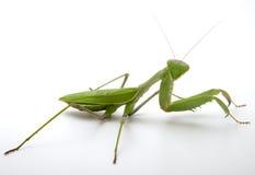Preghi il mantis Immagini Stock