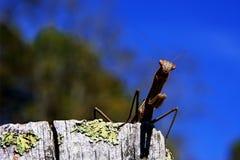 preghiera del mantis Fotografia Stock Libera da Diritti