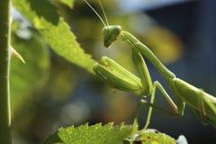preghiera del mantis Immagine Stock