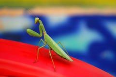 preghiera del mantis Immagini Stock Libere da Diritti