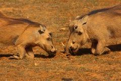 Preghiera di Warthogs Fotografia Stock Libera da Diritti