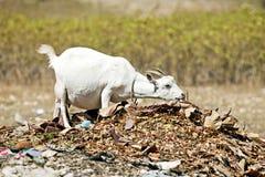 Pregnan White Goat Stock Photo