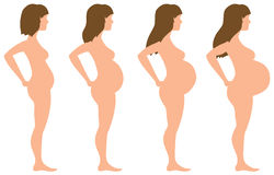 Pregnancy Development in Four Stages Stock Photo