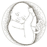 Pregnancy.The fetus in the womb. The development of the human embryo. Vector illustration of an embryo. Drawn by hand.  outline on a white background Royalty Free Stock Images