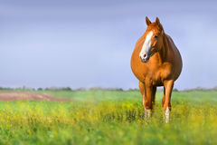 Pregnancy horse Royalty Free Stock Image
