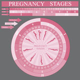 Pregnancy stages. Pregnancy development stages, vector illustration Royalty Free Stock Image