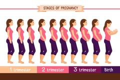Pregnancy stages flat vector illustration. Pregnant woman and birth newborn trimester infographics Stock Photos