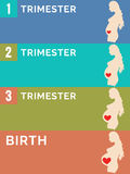 Pregnancy stages. Infographic. Royalty Free Stock Photos