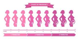 Pregnancy stages line. Nine months divided into three stages, trimesters, changes in female body, fetal development. Vector flat style cartoon illustration Royalty Free Stock Photos