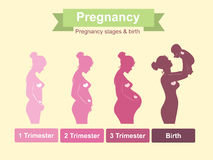 Pregnancy stages Royalty Free Stock Photos