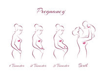 Pregnancy stages Stock Photography
