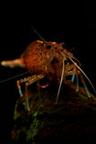 Pregnant Amano Shrimp. Caridina multidentata, also known as Yamato shrimp or Amano shrimp, is a species of shrimp found in Japan and parts of Korea and Taiwan stock images