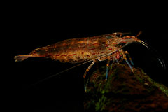 Pregnant Amano Shrimp stock photos