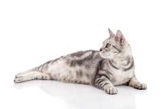 Pregnant American Shorthair cat lying Stock Photography