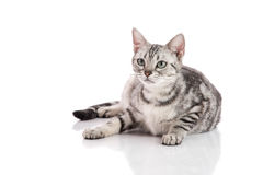 Pregnant American Shorthair cat lying. On white background isolated royalty free stock images