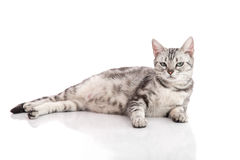 Pregnant American Shorthair cat lying. On white background isolated stock photography