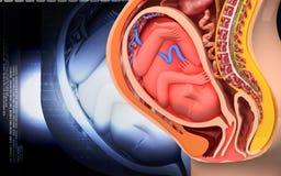 Pregnant anatomy with fetus Stock Photo
