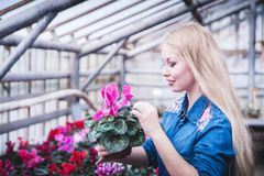 Pregnant woman working with flowers at greenhouse. stock images