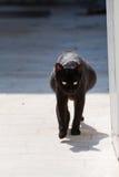Pregnant black cat. Stray pregnant black cat at Thassos stock photos