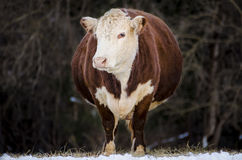 A pregnant, brown and white jersey cow standing Stock Images