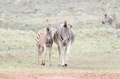 Pregnant Burchells zebras mare and her foal Royalty Free Stock Photo