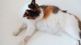 Pregnant cat lies and licks. Cat in the last term of pregnancy. Pregnant calico cat with big belly laying on the white. Relaxing and washing stock footage