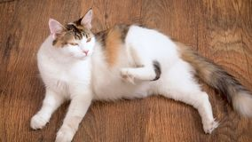 Pregnant cat lies on the wooden floor. Cat in the last term of pregnancy . Pregnant calico cat with big belly laying on. The wooden floor, relaxing stock video