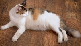 Pregnant cat lies on the wooden floor. Cat in the last term of pregnancy . Pregnant calico cat with big belly laying on. The wooden floor, relaxing stock video footage