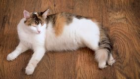 Pregnant cat lies on the wooden floor. Cat in the last term of pregnancy . Pregnant calico cat with big belly laying on