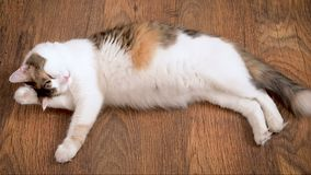 Pregnant cat lies on the wooden floor and licks. Cat in the last term of pregnancy. Pregnant calico cat with big belly. Laying on the wooden floor, relaxing and stock footage