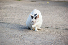 Pregnant Cat staying Royalty Free Stock Images