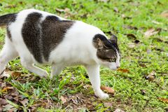 Pregnant cat walking on grasses royalty free stock photography