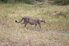 Pregnant Cheetah Royalty Free Stock Photography