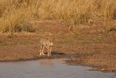 Pregnant cheetah Stock Images