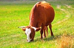 Pregnant cow grazes on the grass Royalty Free Stock Photos