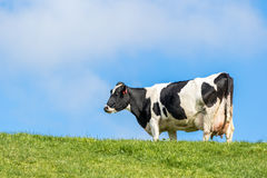 Pregnant Cow. In green grass paddock royalty free stock photos