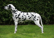 Pregnant dalmatian. Standing in show position royalty free stock photo