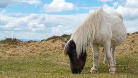 Pregnant Dartmoor Pony grazing. A wild pregnant dartmoor pony grazing grass on the moors Royalty Free Stock Photos