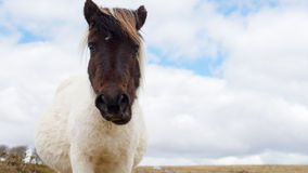 Pregnant Dartmoor Pony. A pregnant wild Dartmoor pony stares at the camera, taken on Dartmoor in Devon and Cornwall, England Stock Images