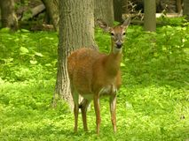 Pregnant Doe. Pregnant whitetail deer doe standing in a woods stock images