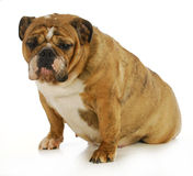 Pregnant dog Stock Images