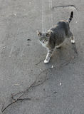 Pregnant domestic cat goes on asphalt. Pregnant domestic cat goes on asphalt Stock Photography