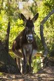 Pregnant donkey Stock Photos