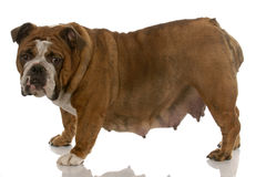 Pregnant english bulldog Stock Images